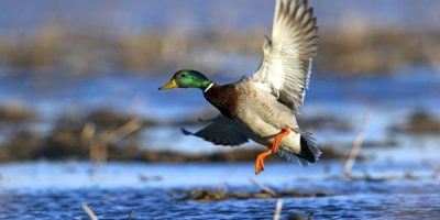 Best Choke For Duck Hunting That Changes The Waterfowl Shooting Game