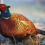 6 Best Choke for Pheasant Hunting – Review Guide in 2021